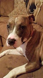 Pit Bull Terrier Mix Dog for adoption in St Louis, Missouri - Windy