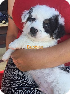 Poodle (Toy or Tea Cup)/Papillon Mix Puppy for adoption in Brea, California - Bubbles