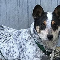 Adopt A Pet :: ACD Theia - Remus, MI