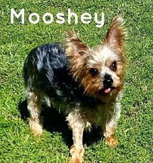 Yorkie, Yorkshire Terrier Mix Dog for adoption in Nashville, Tennessee - Mooshey