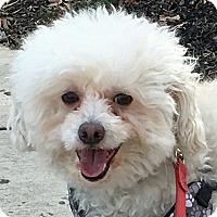 Adopt A Pet :: Bounce - Newington, VA