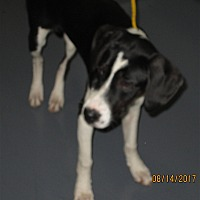 Adopt A Pet :: 17-08-2497 Zelda - Dallas, GA