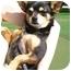 Photo 4 - Chihuahua/Miniature Pinscher Mix Dog for adoption in Irvine, California - Romi