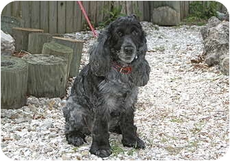 Cocker Spaniel Mix Dog for adoption in Englewood, Florida - Izzy