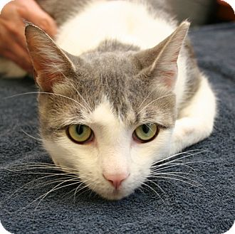 Domestic Shorthair Cat for adoption in Secaucus, New Jersey - Cutie