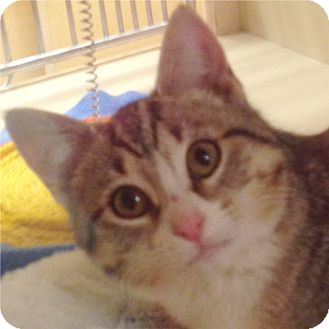 Domestic Shorthair Kitten for adoption in Weatherford, Texas - Jenny
