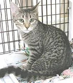 Domestic Shorthair Kitten for adoption in Miami, Florida - Gracie