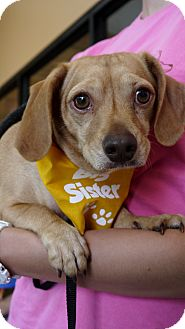 Dachshund/Chihuahua Mix Dog for adoption in Baton Rouge, Louisiana - Dakota