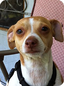 Chihuahua Mix Dog for adoption in Youngstown, Ohio - Taco Bill