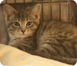 Domestic Shorthair Kitten for adoption in West Des Moines, Iowa - Tyrone