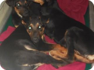 Doberman Pinscher Mix Puppy for adoption in Kendall, New York - Dobie mix pups
