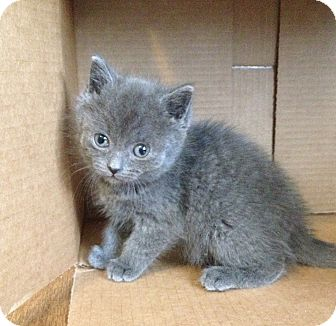 Domestic Shorthair Kitten for adoption in Naperville, Illinois - Luna - ADOPTED