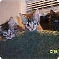 Adopt A Pet :: KIttens! - Arlington, VA