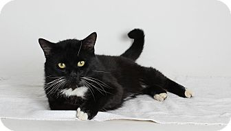 Domestic Shorthair Cat for adoption in San Andreas, California - Barnaby