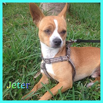 Chihuahua Mix Dog for adoption in Hollywood, Florida - Jeter