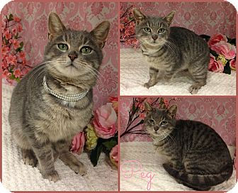 Domestic Shorthair Cat for adoption in Joliet, Illinois - Peg