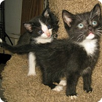 Adopt A Pet :: Tuxie babies - Dallas, TX