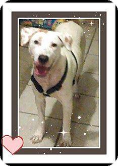 Labrador Retriever Mix Dog for adoption in Sumter, South Carolina - Austin