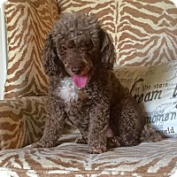 Adopt A Pet :: Sadie - Knoxville, TN