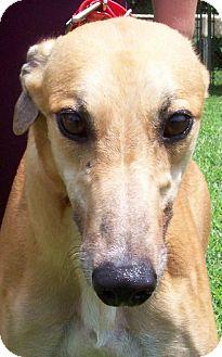 Greyhound Dog for adoption in Randleman, North Carolina - Kelly