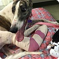 Adopt A Pet :: Jessie - Tucson, AZ