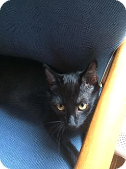 Domestic Shorthair Kitten for adoption in Stafford, Virginia - Veronica