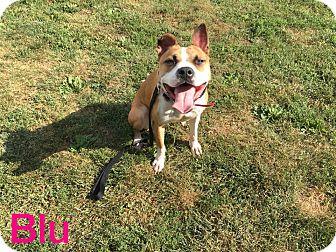 Boxer/Mixed Breed (Medium) Mix Dog for adoption in Middletown, Ohio - Blu