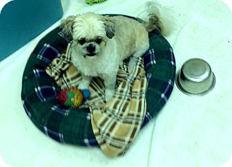 Shih Tzu Mix Dog for adoption in Tavares, Florida - Gismo