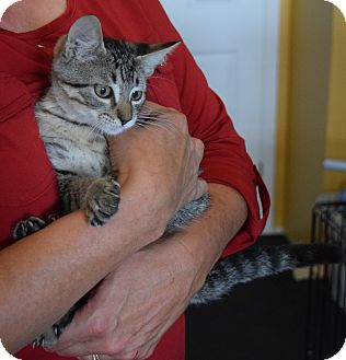 Domestic Shorthair Kitten for adoption in Surrey, British Columbia - Aaron