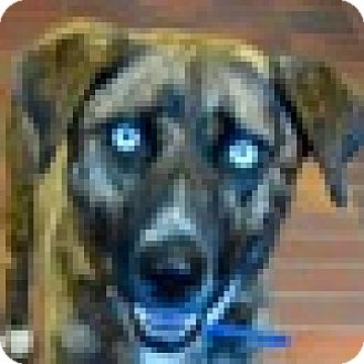 Australian Shepherd/Catahoula Leopard Dog Mix Dog for adoption in Des Moines, Iowa - Marilyn