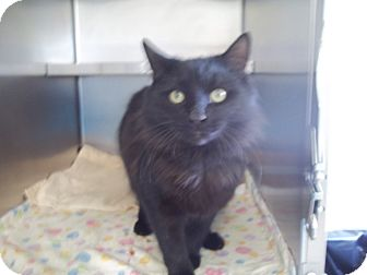 Domestic Longhair Cat for adoption in Mineral, Virginia - Jayce, C34