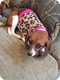 Beagle Mix Dog for adoption in Hillsboro, Missouri - Angel