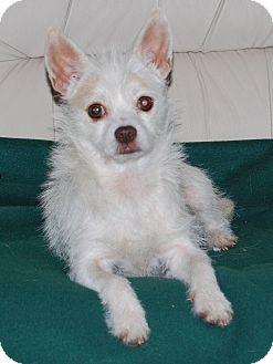 Maltese/Yorkie, Yorkshire Terrier Mix Dog for adoption in Newark, Delaware - Lexzee