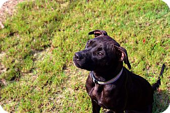 American Staffordshire Terrier Mix Dog for adoption in Barco, North Carolina - Helena