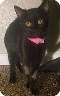 Domestic Shorthair Kitten for adoption in Glendale, Arizona - GEMMA