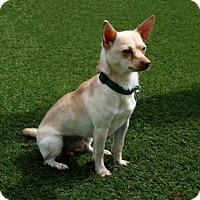 Adopt A Pet :: Pumpkin - Bradenton, FL