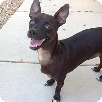 Chihuahua/Dachshund Mix Dog for adoption in Scottsdale, Arizona - Mr. Bojangles