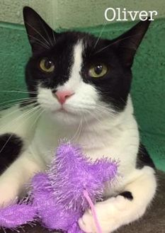 Domestic Shorthair/Domestic Shorthair Mix Cat for adoption in Annapolis, Maryland - Oliver Cris Judd