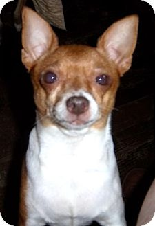 Chihuahua Dog for adoption in Anderson, South Carolina - Zoey