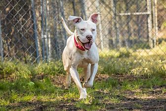 Pit Bull Terrier Mix Dog for adoption in Newport, North Carolina - Snow