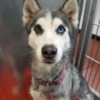 Adopt A Pet :: Zeeva - Aberdeen, SD