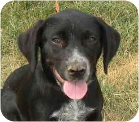 Labrador Retriever/Border Collie Mix Puppy for adoption in Kokomo, Indiana - Tosh