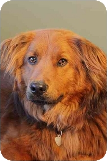 Chow Chow/Golden Retriever Mix Dog for adoption in Portland, Oregon - Shep