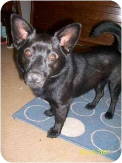 Pomeranian Mix Dog for adoption in Harmony, North Carolina - UBO