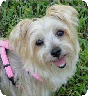Yorkie, Yorkshire Terrier Dog for adoption in West Palm Beach, Florida - Hailey