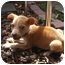 Photo 3 - Chihuahua Mix Puppy for adoption in Westminster, Colorado - Sputnik
