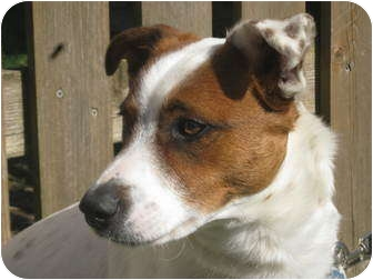 Jack Russell Terrier Dog for adoption in Troy, Ohio - Mojo
