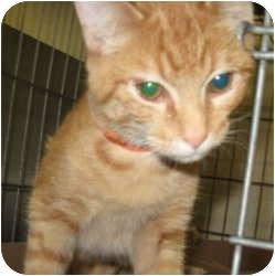 Domestic Shorthair Kitten for adoption in Stillwater, Oklahoma - Mikey