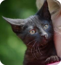 Domestic Shorthair Kitten for adoption in Providence, Rhode Island - Adam