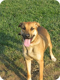 German Shepherd Dog/Labrador Retriever Mix Dog for adoption in Indianapolis, Indiana - Eden